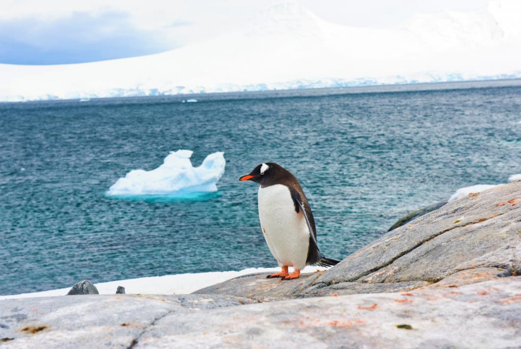 Pingüinos Papúa - Puerto Lockroy