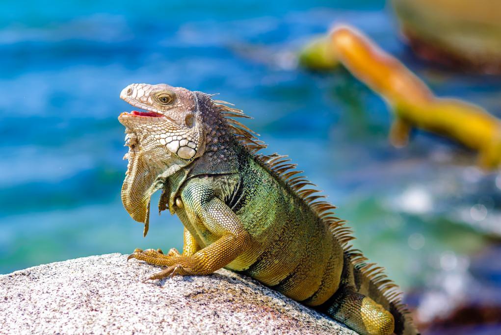 Granja de Iguanas - Roatán - Isla de Roatán